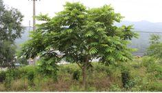 가중나무 - Google 검색