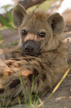 Hyenas would be the King of the Jungle, if not for his … Love these little guys. Hyenas would be the King of the Jungle, if not for his sloped back. Animals And Pets, Baby Animals, Cute Animals, Brown Hyena, Regard Animal, African Wild Dog, African Safari, Photo Animaliere, Wild Creatures