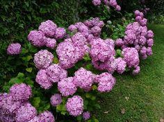 Tips y consejos para cultivar la hortensia en tu jardín.