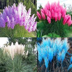 Pampas Grass Seeds Ornamental home garden bonsai pot Plants Flower NEW-- Bonsai Plants, Bonsai Garden, Garden Plants, Garden Grass, Fence Garden, Fruit Garden, Grass Flower, Flower Seeds, Plantas Bonsai