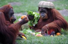 Tanga, a Sumatran Orangutan (Pongo Pygmaeus Abelli) enjoys some fruit after receiving a Christmas hamper, at the Rio de Janeiro zoo, Brazil, on December 18, 2012