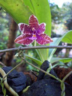 phalaenopsis lueddemanniana | Philippine orchid: Phalaenopsis lueddemanniana