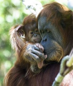 Twitter, For the first two years of their life, young orangutans are dependent their mom for food and transportation. pic.twitter.com/bHWnXOqRYX