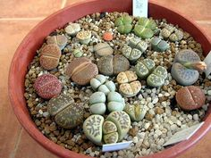 lithops -a friend has promised to take me to where I can get these 'living stones' - soon . . .