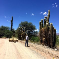 A shepherd and his flock, on the road to Salta, blending into the beautiful surroundings.