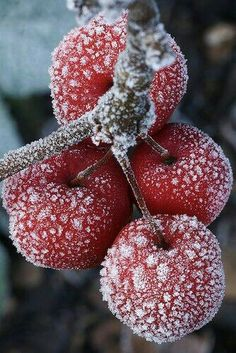 Frost on berries. Love this effect on photos!