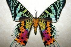 The magnificent Madagascan Sunset Moth (Chrysiridia rhipheus) was first categorized as a butterfly in 1773 by Dru Drury but was later deemed a moth in 1831. It is a day-flying moth and most interestingly, the iridescent parts of the wings which make it so beautiful actually do not contain any pigment; rather, the colors originate from optical interference.