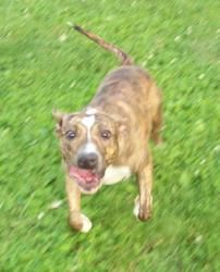Roxy is an adoptable Mountain Cur Dog in Mechanicsburg, PA. Roxy was found as a stray in Harrisburg, PA. She was given to a feral cat rescuer by neighbors, to keep her from a wretched life! But the ki...