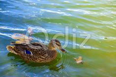 Qdiz Stock Photos Duck Swimming in Lake Closeup,  #background #beak #bird #birdwatching #brown #close-up #closeup #duck #feather #floating #head #lake #leaf #leaves #macro #mallard #maple #nature #outdoor #outside #pond #reflection #River #sunny #swimming #water #waterfowl #wild #wildlife #wing