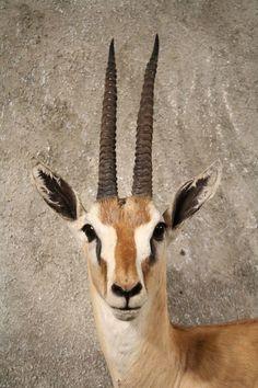 Gazelle Drawing Certainly a dead gazelle