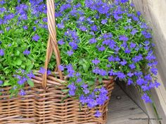 Lobelia Love: Tips For Growing Lobelia Plants - House of Hawthornes Outdoor Flowers, Outdoor Plants, Outdoor Gardens, Outdoor Spaces, Outdoor Living, Lobelia Flowers, Planting Flowers, Flower Gardening, Little Gardens