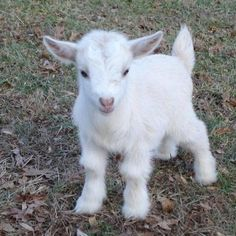 Baby goat cute animals adorable instagram animal pictures baby goat