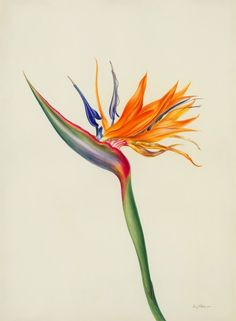 Trendy Flowers Drawing Tropical Bird Of Paradise Ideas Bird Of Paradise Tattoo, Birds Of Paradise Flower, Tattoo Bein, 1 Tattoo, New Tattoos, Botanical Drawings, Botanical Illustration, Botanical Prints, Tropical Birds
