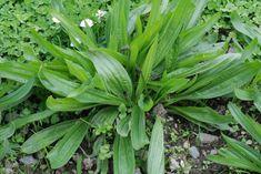 Miért ne használnánk ma is őseink tudását? Plantain Herb, America And Canada, Urban Homesteading, Edible Plants, Dark Places, Medicinal Plants, Landscape Design, Weed, Cannabis