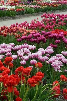 Tulpenroute Flevoland. April 2015