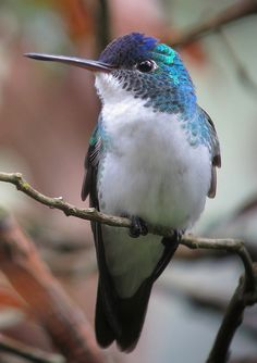 The Andean Emerald (Amazilia franciae) is a species of hummingbird found at forest edge, woodland, gardens and scrub in the Andes of Colombia, Ecuador and northern Peru. It is generally fairly common. It is green above and white below.