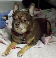 COCO is an adoptable Chihuahua Dog in Marblehead, MA.  Coco is new to the Marblehead Animal Shelter. His owner passed away, and he doesn't understand why he is at the shelter with all these cats, acco...