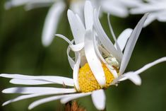 How a crab spider hides Crab Spider, Daisy Field, Windy Day, Spiders, Predator, Daisies, Spin, Christmas Ornaments, Easy