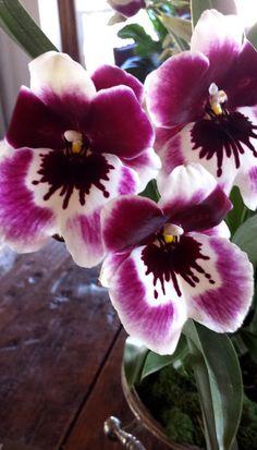 plum perfect | miltonia orchid | garson jasper Water Culture Orchids, Cape Cod Towns, Miltonia Orchid, Jasper, Plum, Garden, Beautiful, Plant, Flowers