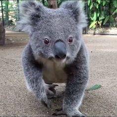 "Watch this video of Jamie the Koala 🐨 from Australia (@australia) on Instagram: ""Playtime for Jamie the koala at @currumbinsanctuary 🐨 This gorgeous furball seems to be loving life…"""
