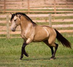 DEM Conquistador buckskin Lusitano stallion trotting across the grass with neck curved inward