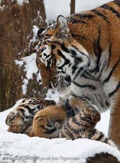 Mère tigre #BigCatFamily