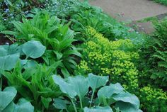 Euphorbia adds contrasting chartreuse to the blue hues of the hostas: http://wifemothergardener.blogspot.com
