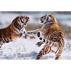 Photograph of Siberian Tigers Fighting, China - License this photo from Steve Bloom Images Beautiful Cats, Animals Beautiful, Wildlife Photography, Animal Photography, Panthera Tigris Altaica, Steve Bloom, Animals And Pets, Cute Animals, Wild Animals