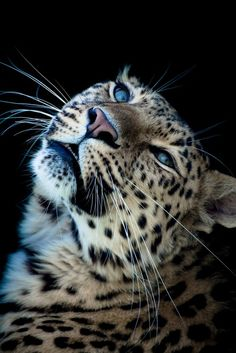 Pin by karin pedersen on snow leopard Big Cats, Cats And Kittens, Cute Cats, Beautiful Cats, Animals Beautiful, Majestic Animals, Beautiful Pictures, Animals And Pets, Cute Animals