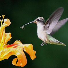 What {Flowers} to plant to {Attract Hummingbirds!}