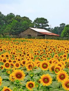 City - Cumming, GA Anderson sunflowers YES! We moved outta TX to this beautiful place. Sunflower Patch, Sunflower Garden, Sunflower Fields, Sunflower Family, Beautiful Gardens, Beautiful Flowers, Happy Flowers, Sun Flowers, Sunflower Wallpaper