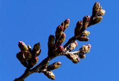 Win McNamee A late spring thaw delayed blooms