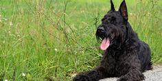 Hypoallergene hond: Schnauzer