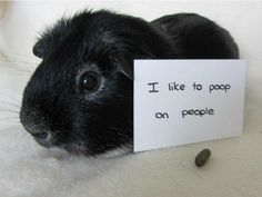 LOL! Guinea pig shaming. I feel bad for these piggies, but I would do it for Jasper sometimes...