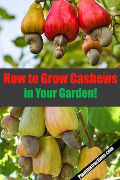 How to Grow Cashew Trees gardening cashews Growing Peach Trees, Growing Tree, Growing Plants, Growing Vegetables, Veg Garden, Fruit Garden, Edible Garden, Garden Trees, Vegetable Gardening