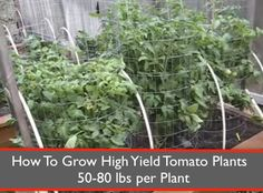 How-To-Grow-High-Yield-Tomato-Plants-50-80-Pounds-Per-Plant