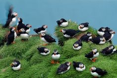 """Iceland is home to the world's largest Atlantic puffin colony, but the birds' breeding has been a """"total failure"""" since 2005."""