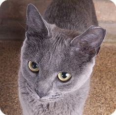 Chicago, IL - Russian Blue. Meet Shadow, a cat for adoption. http://www.adoptapet.com/pet/18386225-chicago-illinois-cat