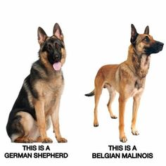 Whats the difference between a Belgian Malinois and a German Shepherd? Belgian Dog, Belgian Malinois Puppies, Belgian Shepherd, German Shepherd Puppies, German Shepherds, Border Collies, Yorkshire Terrier, Belgium Malinois, Military Dogs