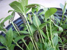 Milkweed caterpillar-palooza