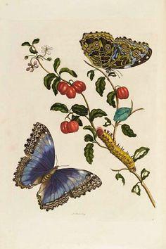 Maria Sibylla Merian  Botanical  1719