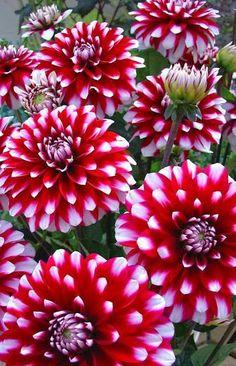 Dahlias-Niza Flores-soñadora Naturaleza.                                                                                                                                                                                 Más
