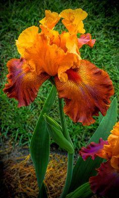 """""""Bearded Lady"""" Iris Beautiful gorgeous pretty flowers"""