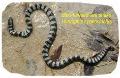 Sea snake in mangroves at Simaisima, Qatar. Teaching Overseas, Sea Snake, Spaces, Books, Libros, Book, Book Illustrations, Libri