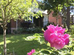 Mes beaux rosiers! Une protection anti enfants qui veulent toujours aller dans la rue... #famille #terrain #rosier #haie #vert #été #lamaisonsouslepinettebleue #rose