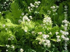 Must put my astrantia seedlings in the ferns on the shady side of the garden. Woodland Plants, Woodland Garden, Garden Art, Garden Plants, Garden Design, Astrantia Major, Night Garden, Deco Floral, White Gardens