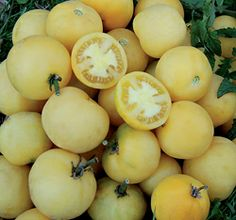 """Wapsipinicon Tomato, Named after the Wapsipinicon River in northeast Iowa. Heavy producer of 2"""" round fuzzy yellow fruits. Sweet, juicy, well-balanced flavor. Winner of SSE's 2006 Heirloom Tomato Tasting. Rot resistant. Indoor 6 wks b4. $2.75 for 50 seeds"""