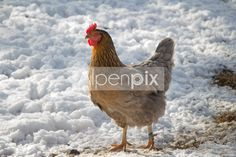 Ein Huhn! Animals, Animaux, Animal, Animales, Animais