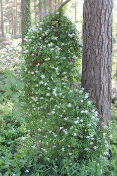 Alppikärhö rhodometsästä Plants, Gardening, Art, Art Background, Lawn And Garden, Kunst, Plant, Performing Arts, Planets