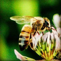 Honeybee on clover 2.
